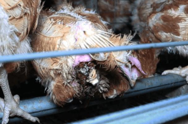 Des oeufs sont retenus par le cadavre d'une poule