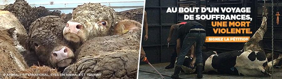 Le calvaire des animaux exportés