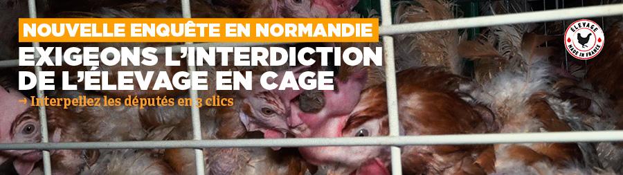 Poules pondeuses en cage