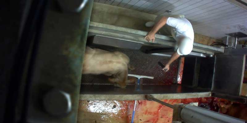 Un veau se voit asséner des coups de raclette alors qu'<b>il panique et cherche à fuir</b>.