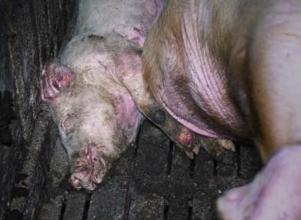 Nouvelle enquête L214 : Un élevage répugnant dans le Tarn