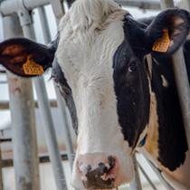 Vache en élevage