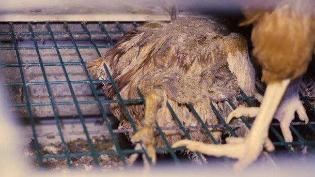 Cadavre de poule momifiée = Groupe Avril 2018