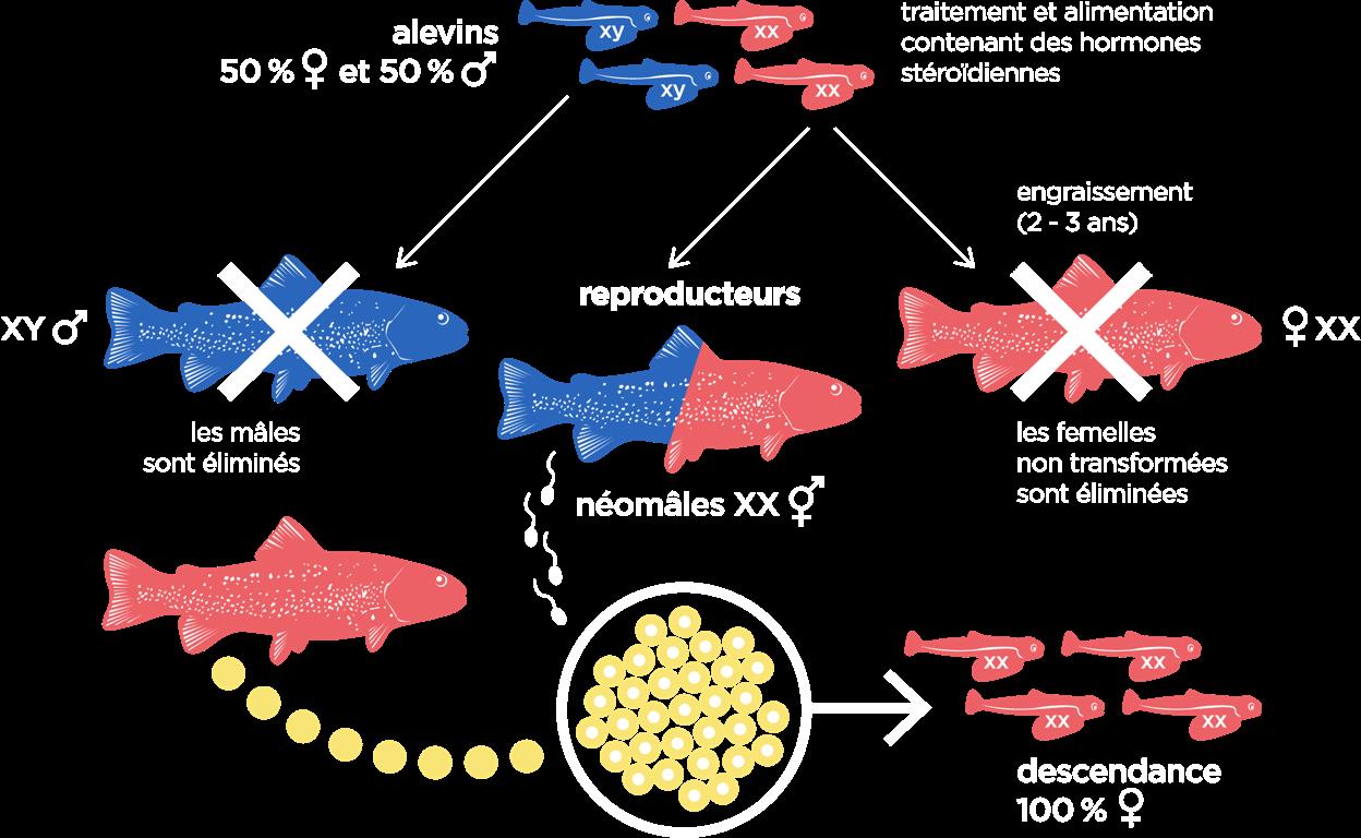 Schéma de la roduction de néomâles par utilisation de testostérone