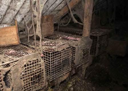 Nouvelle enquête L214 : plongée dans l'univers glauque d'un élevage français de visons