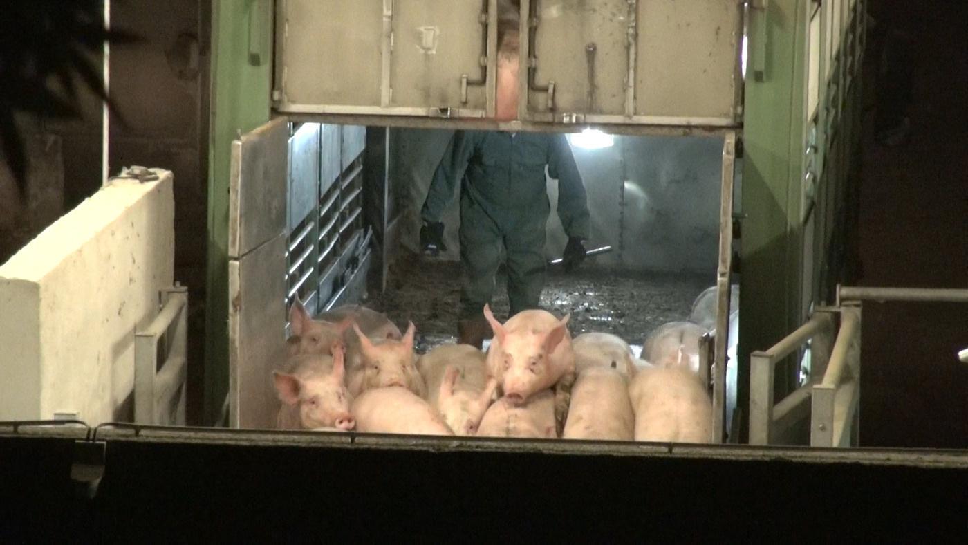 Cochons déchargés à l'abattoir d'Alès en 2015