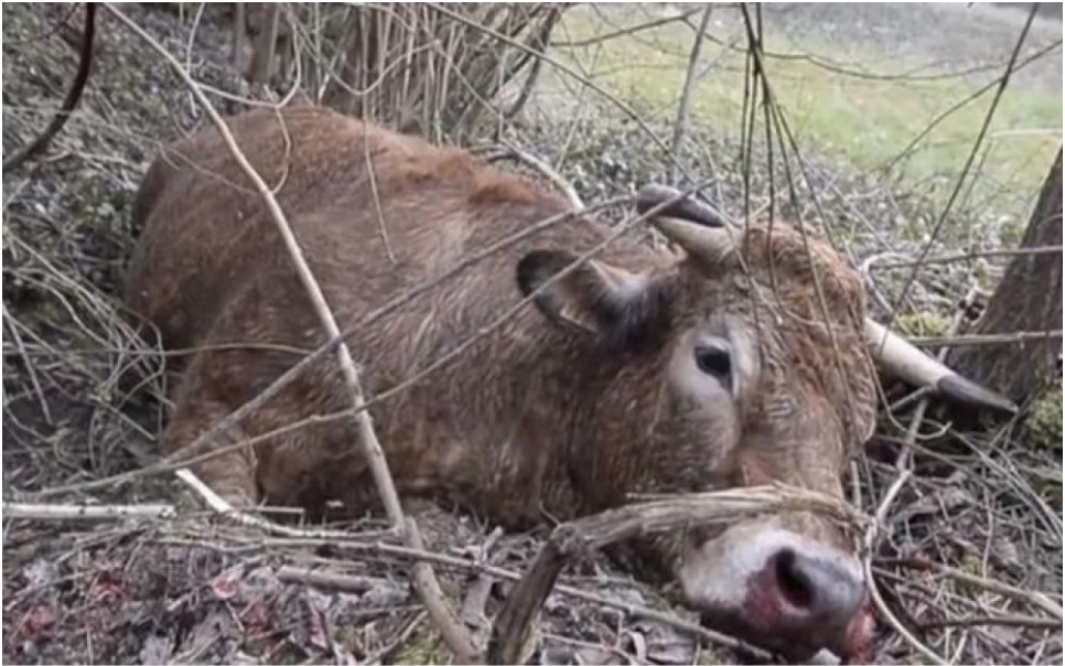 Vache échappée de l'abattoir de Charleville-Meszières en 2014
