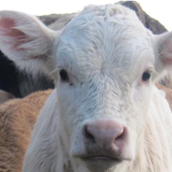Intelligence et vie sociale des veaux, vaches et taureaux