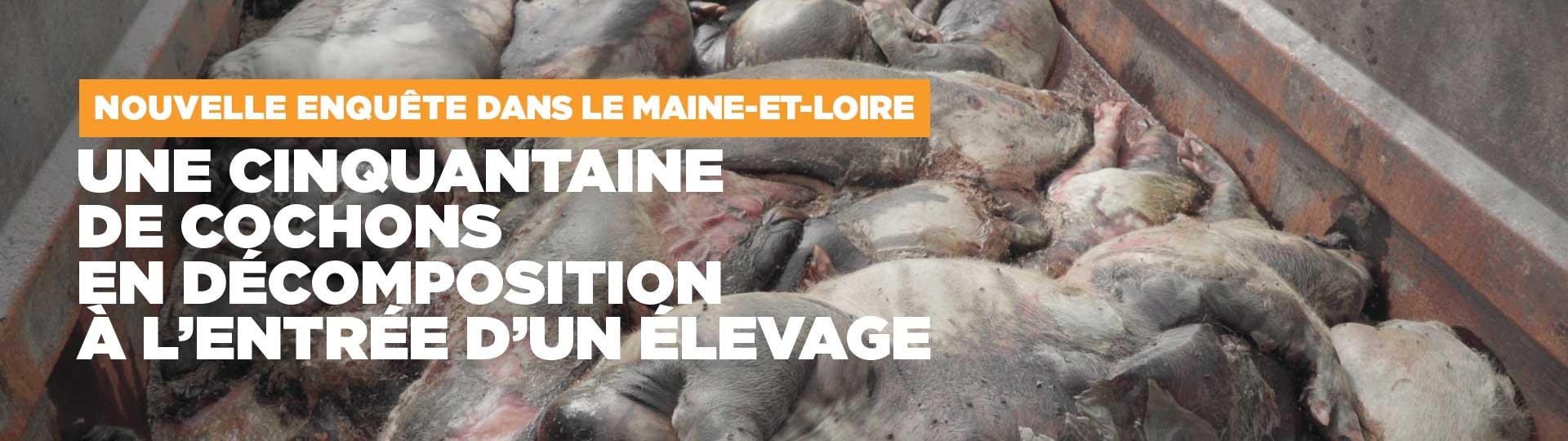 Enquêtes : des cochons en décomposition