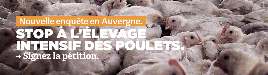Élevage de poulets en Auvergne