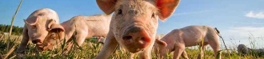 Intelligence et vie sociale des cochons