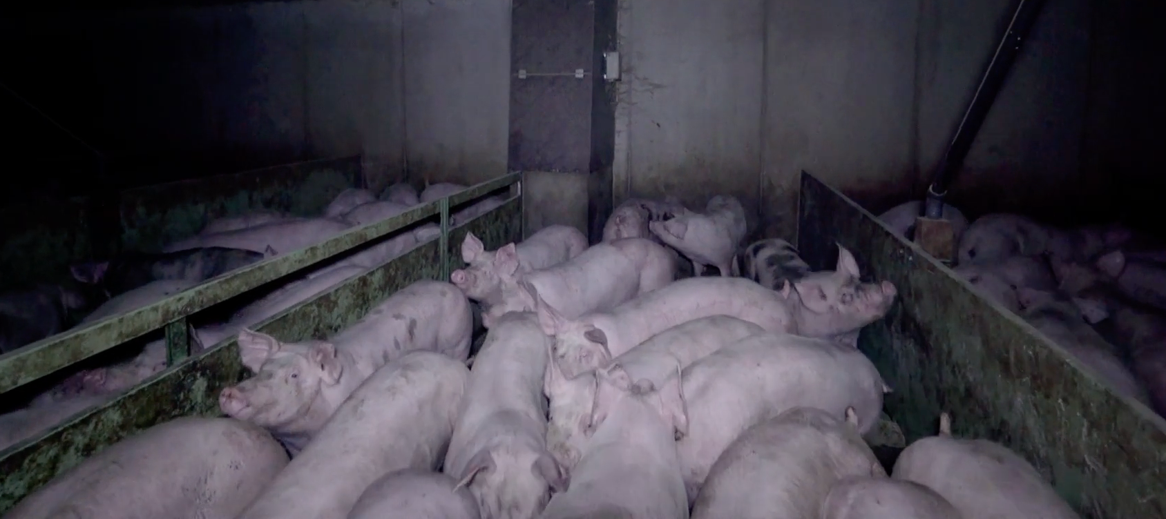 Cochons en enclos d'engraissement