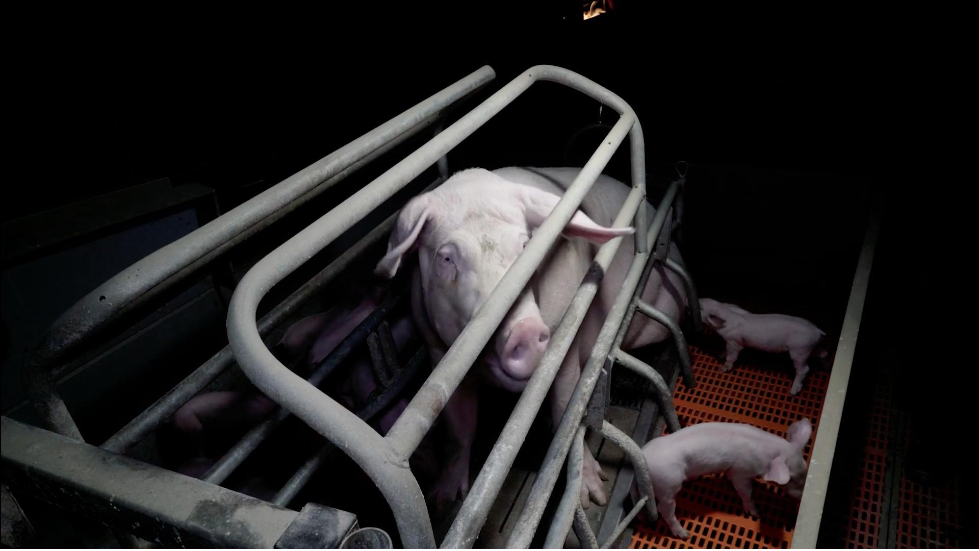Truie en cage de maternite