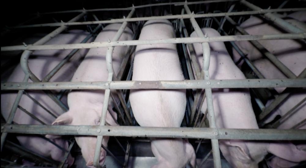 Truies en cages de gestation