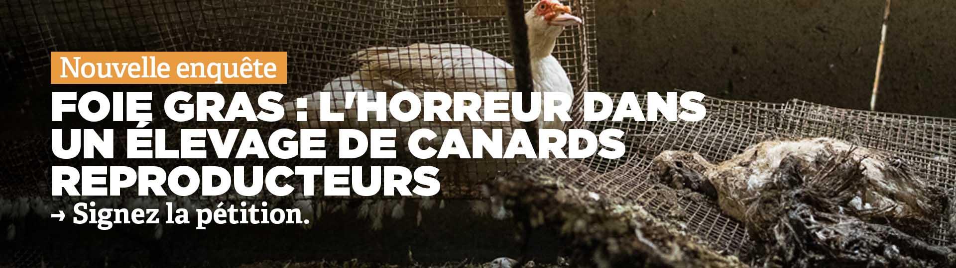 Canards reproducteurs