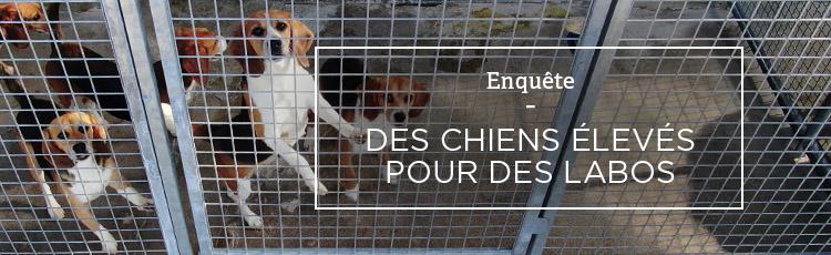 Bannière En France, des chiens élevés pour des laboratoires d'expérimentation animale