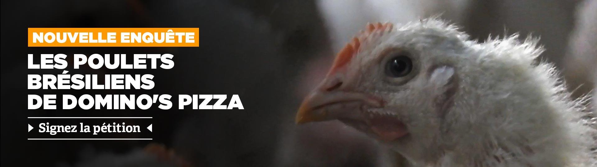 L214 dévoile la provenance brésilienne du poulet de Domino's Pizza
