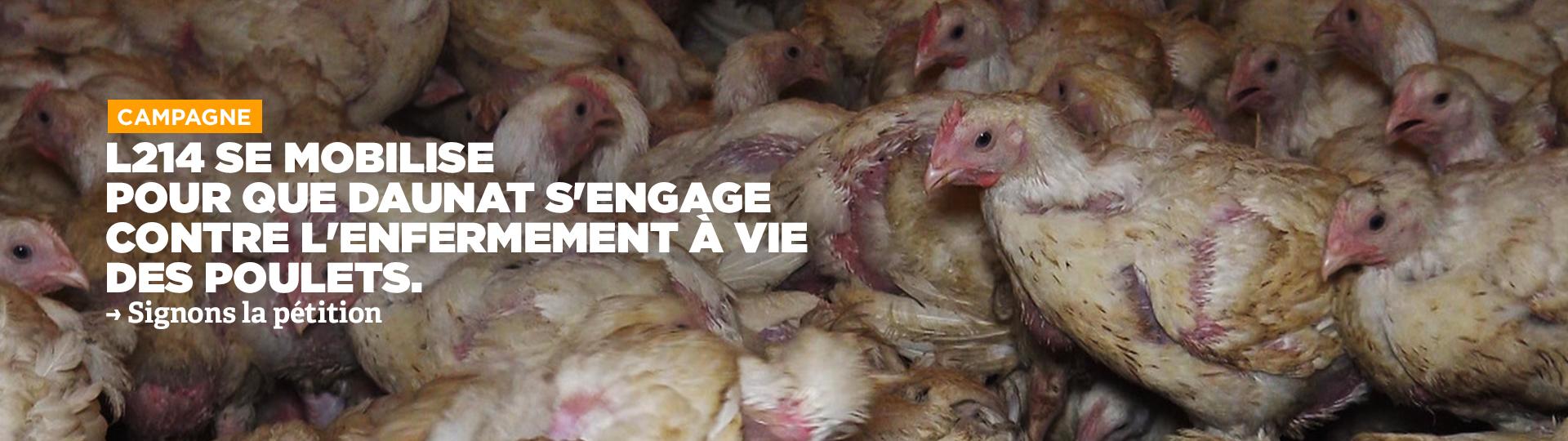 L214 se mobilise pour que Daunat cesse l'enfermement à vie des poulets