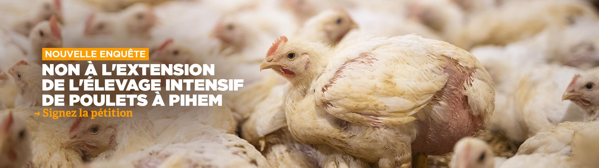 Nouvelle enquête dans un élevage intensif de poulets en demande d'extension