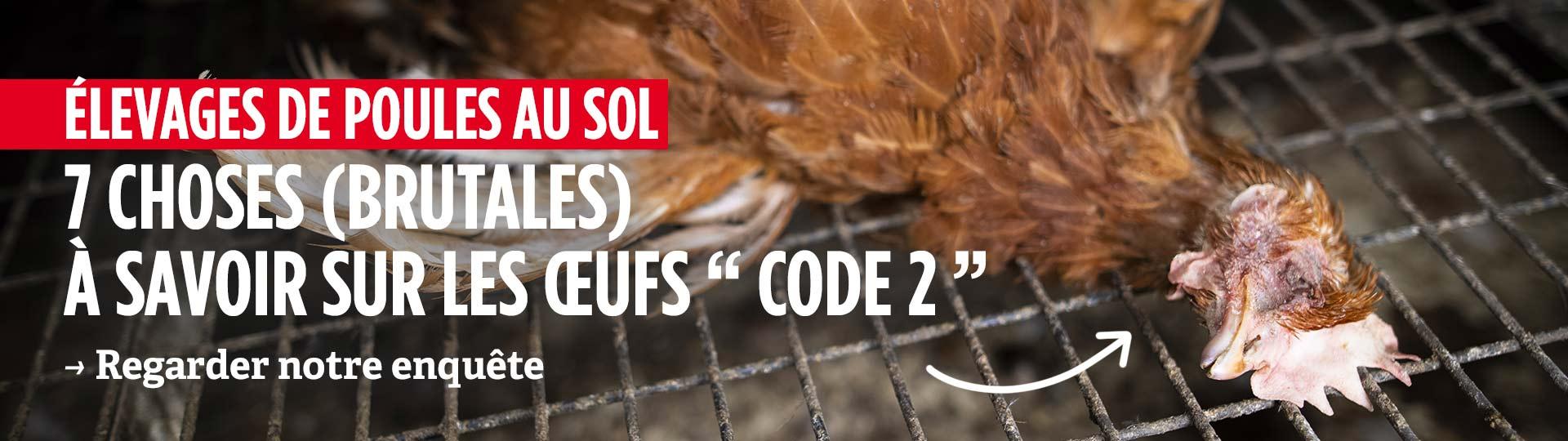 Nouvelle enquête dans 2 élevages de poules au sol