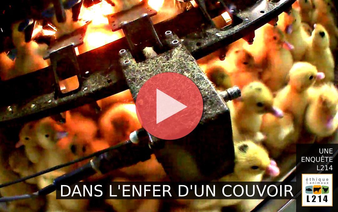 Canetons femelles broyés dans la production de foie gras