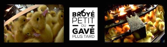 Foie gras : broyés petits ou gavés plus tard