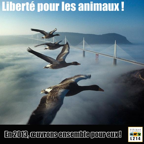 http://visuels.l214.com/sites/www.stopgavage.com/2012/pages/1-info-par-jour/Moullec-oies-millau-584.jpg