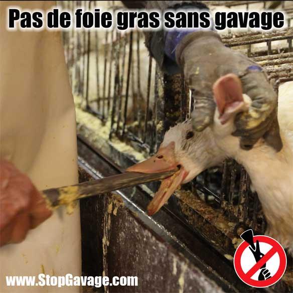 foie gras gavage