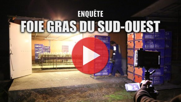 Foie gras du Sud-Ouest : visite dans des salles de gavage typiques de la production