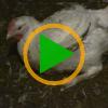 Vignette Les poulets de chair